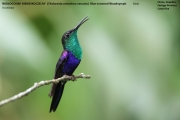 028.235.Thalurania_colombica01.Male.Flores.Guapiles.CR.3.12.2015