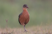 Rougetius_rougetii002.Podnoze_Bale_Mt.Etiopia.14.11.2009