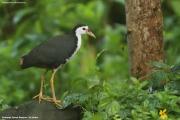 Amaurornis phoenicurus005.Sinharaja Forest Reserve.Sri Lanka.27.11.2018