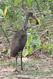 Aramus_guarauna0002.Pantanal.Brazylia.19.11.2013