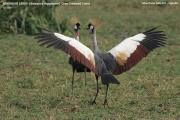 035.01.Balearica_regulorum001.Murchison_Falls_N.P.Uganda.PJ.16.02.2011