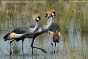 035.01.Balearica_regulorum002.Murchison_Falls_N.P.Uganda.18.11.2012