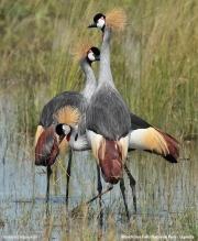 Balearica_regulorum006.Murchison_Falls_N.P.Uganda.18.11.2012