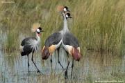 Balearica_regulorum007.Murchison_Falls_N.P.Uganda.18.11.2012
