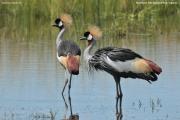 Balearica_regulorum008.Murchison_Falls_N.P.Uganda.18.11.2012