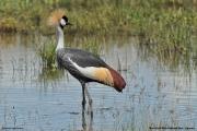 Balearica_regulorum009.Murchison_Falls_N.P.Uganda.18.11.2012