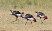 Balearica_regulorum012.Murchison_Falls_N.P.Uganda.18.11.2012
