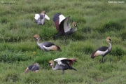 Balearica_regulorum015.Droga_Kashenyi_Kabale.Uganda.PJ.2.03.2011