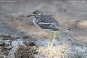 Burhinus_oedicnemus_indicus002.Bundala_NP.Sri_Lanka.2.12.2018