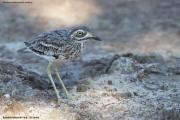 Burhinus_oedicnemus_indicus005.Bundala_NP.Sri_Lanka.2.12.2018
