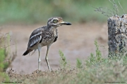 Burhinus_oedicnemus_indicus009.Tissamaharama.Sri_Lanka.2.12.2018