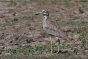 Burhinus_senegalensis003.Okolice_Debre_Birhan.Etiopia.28.11.2009