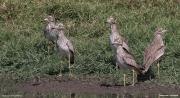 Burhinus_senegalensis014.Okolice_Debre_Birhan.Etiopia.28.11.2009
