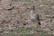 Burhinus_senegalensis004.Okolice_Debre_Birhan.Etiopia.28.11.2009