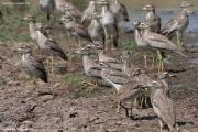 Burhinus_senegalensis005.Okolice_Debre_Birhan.Etiopia.28.11.2009