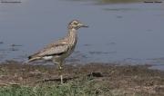 Burhinus_senegalensis008.Okolice_Debre_Birhan.Etiopia.28.11.2009