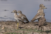Burhinus_senegalensis009.Okolice_Debre_Birhan.Etiopia.28.11.2009