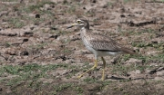 Burhinus_senegalensis011.Okolice_Debre_Birhan.Etiopia.28.11.2009