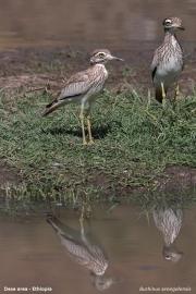 Burhinus_senegalensis012.Okolice_Debre_Birhan.Etiopia.28.11.2009