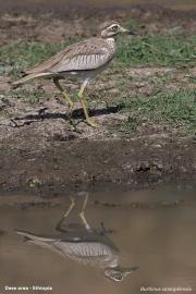 Burhinus_senegalensis013.Okolice_Debre_Birhan.Etiopia.28.11.2009