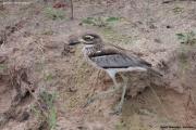 Burhinus_vermiculatus002.Okavango.Ngepi.Namibia.24.02.2014