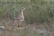 036.04.Burhinus_capensis001.Etosha_N.P.Namibia.22.02.2014
