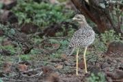 Burhinus_capensis002.Okolice_Lake_Baringo.Kenia.8.12.2014