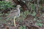 Burhinus_capensis003.Okolice_Lake_Baringo.Kenia.8.12.2014