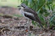 Burhinus_grallarius002.Cairns.Australia.28.07.2015