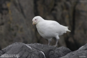 Chionis_albus026.King_George_Is.South_Shetland_Islands.Antarctica.02.02.2019