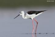 Himantopus_himantopus26.Walvis_Bay.Namibia.15.02.2014
