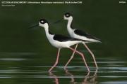 040.Himantopus mexicanus02.Antigua.11.03.2010