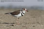 041.020.Charadrius_tricollaris001.Walvis_Bay.Namibia.15.02.2014