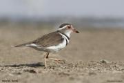 Charadrius_tricollaris002.Walvis_Bay.Namibia.15.02.2014