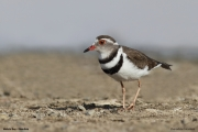 Charadrius_tricollaris003.Walvis_Bay.Namibia.15.02.2014