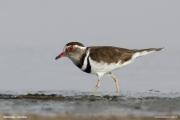 Charadrius_tricollaris004.Walvis_Bay.Namibia.15.02.2014