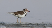 Charadrius_tricollaris005.Walvis_Bay.Namibia.15.02.2014