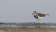 Charadrius_tricollaris006.Walvis_Bay.Namibia.15.02.2014