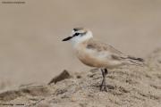 Charadrius_marginatus007.Walvis_Bay.Namibia.14.02.2014