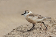 Charadrius_marginatus008.Walvis_Bay.Namibia.14.02.2014
