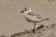 Charadrius_marginatus009.Walvis_Bay.Namibia.14.02.2014