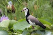 Vanellus_crassirostris011.Mabamba_swamp.Uganda.26.11.2012