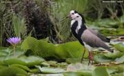 Vanellus_crassirostris007.Mabamba_swamp.Uganda.26.11.2012
