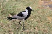 041.044.Vanellus_armatus001.Arusha_N.P.Tanzania.16.03.2013