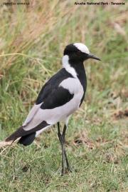 Vanellus_armatus002.Arusha_N.P.Tanzania.16.03.2013