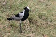 Vanellus_armatus003.Arusha_N.P.Tanzania.16.03.2013