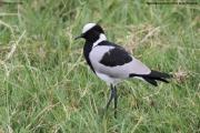 Vanellus_armatus004.Ngorongoro.Tanzania.21.03.2013