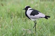 Vanellus_armatus006.Ngorongoro.Tanzania.21.03.2013