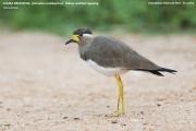 041.048.Vanellus malabaricus001.Udawalawe NP.Sri Lanka.28.11.2018