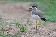 Vanellus malabaricus003.Udawalawe NP.Sri Lanka.28.11.2018